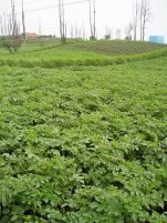 Javanese potatoes grow well in the highlands. Certified disease-free seed potatoes are unheard of, consequently yields (and farm incomes) could be improved.