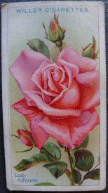 Rose, Lady Ashtown, Hybrid Tea