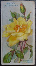 Rose, Madame Pernet Ducher, Hybrid Tea
