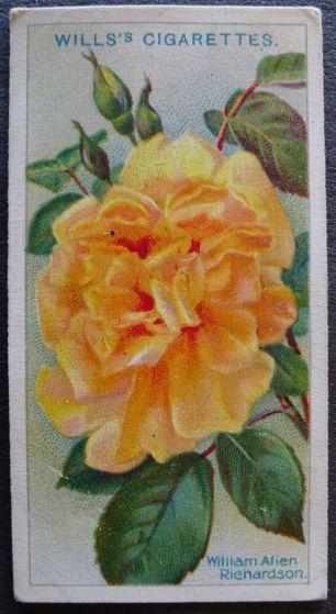 Rose, William Allen Richardson, Noisette