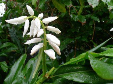 False cardamon buds, Alpinia nutans