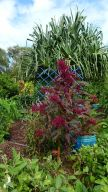 Gardeners are interested in growing Chinese spinach, like this Amaranthus gangeticus