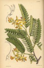 Plant Tamarind trees not African tulip trees (Tamarindus indicus, syn. T. officinalis)