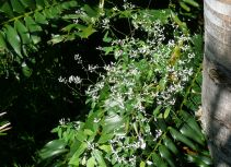 Euphorbia graminea 'Diamond Frost'