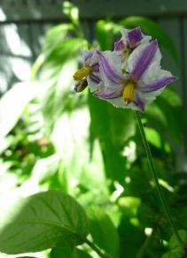 pepino, hasn't stopped flowering since last year