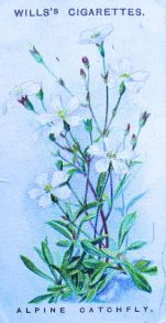 Alpine catchfly, Silene alpestris, Wills' Alpine Flowers, 1913