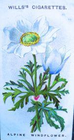 Alpine windflower, Anemone alpina, Wills' Alpine Flowers, 1913
