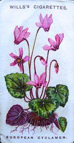 European cyclamen, Cyclamen europaeum, Wills' Alpine Flowers, 1913