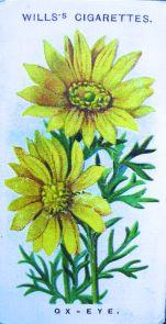 Ox-eye, Adonis vernalis, Wills' Alpine Flowers, 1913
