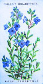 Rock speedwell, Veronica saxatilis, Wills' Alpine Flowers, 1913