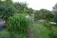 Foliar feeding corn, Zea mays 'Manning Pride'
