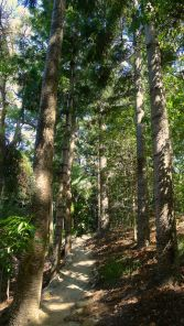 Hoop pine, Araucaria cunninghamii