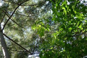 Illawarra flame tree, Brachychiton acerifolius
