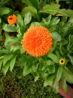 Pot marigold, Calendula officinalis