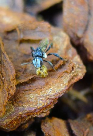 Stingless bee on housekeeping duty