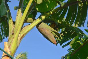 Banana flower, Musa x sapientum 'Pisang Ceylan'