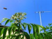 Honeybee visits curry leaf tree