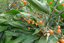 Dracaena aletriformis fruit