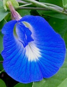 Blue pea, Clitorea ternatea, used for dyeing margarine