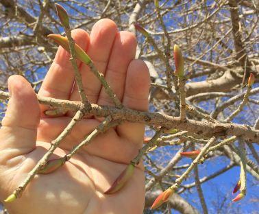 White Fig, Ficus virens, at bud burst