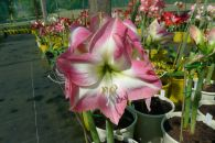 Hippeastrum Super Star