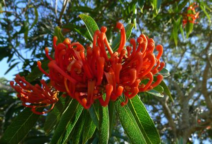 Tree Waratah, Alloxylon flammeum