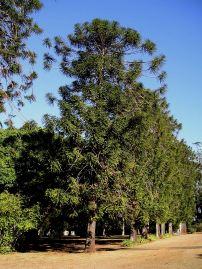 Bunya pine, Araucaria bidwillii
