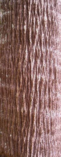 cabbage palm trunk, Livistona australis