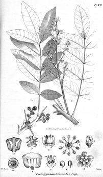 Burdekin plum, Pleiogynium timorense