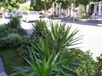 Dangerous nature strips: Yucca in James St, Brisbane