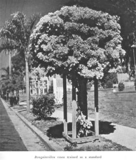 Bougainvillea in nature strip, Brisbane, 1952