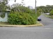 Bad choice: Invasive Schinus terebinthifolius blocking path Wassel St