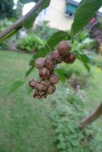 Lawn Armyworm biocontrol: Bird-dropping spider, Celaenia excavata, syn C. kinbergii