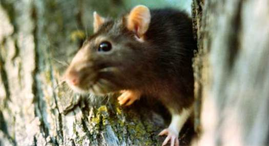 benjamin-franklyn-rat