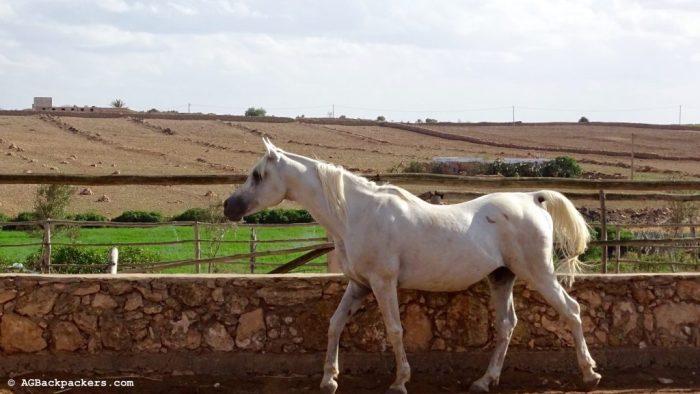 Pur sang Arabe - Jardin privé - Koheilan Lodge Farm