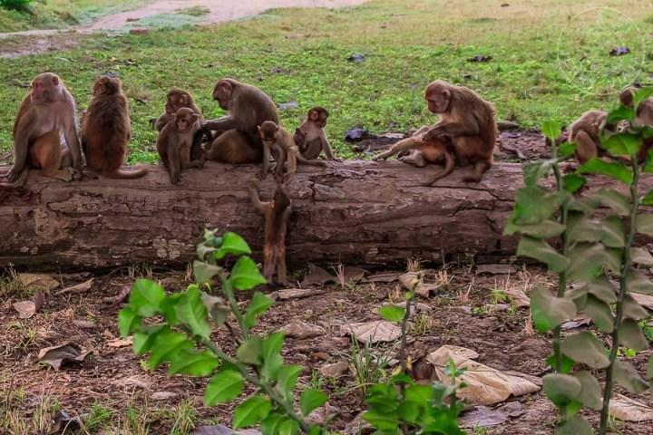 Monos de Bardia, Macacos de Assam, Nepal