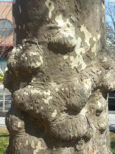tree trunk princeton