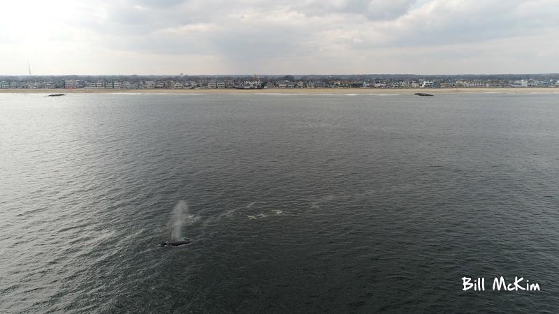 , Whales off the coast of Belmar April 2018 DJI Phantom drone photos, Jersey Shore Whale Watch Tour 2020 Season