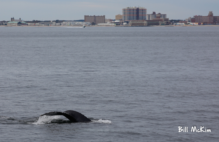 Jersey shore whale watching tour bill mckim photos