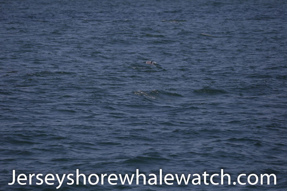 Jersey shore whale watch July 6 review 2020 (16 of 37)