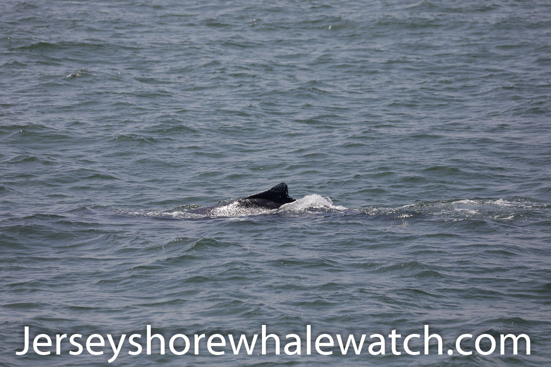 Jersey shore whale watch July 6 review 2020 (27 of 37)