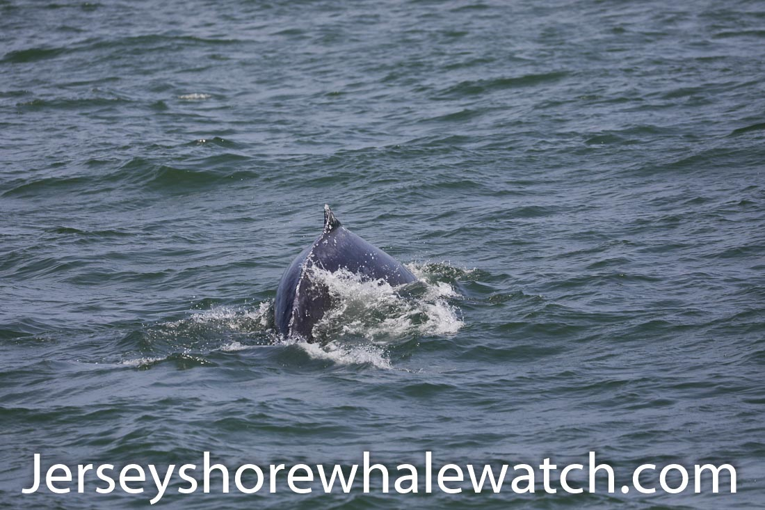 Jersey shore whale watch July 6 review 2020 (34 of 37)