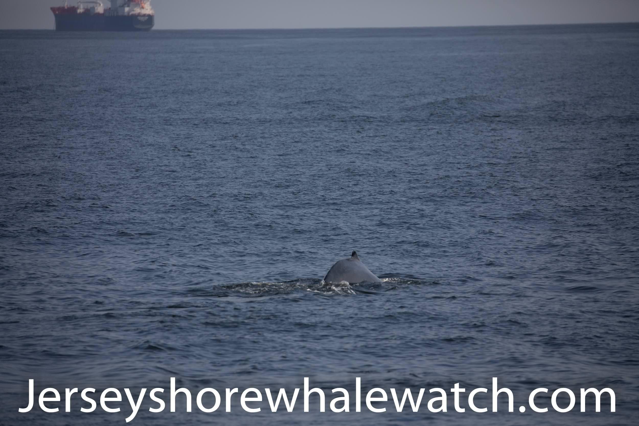 , Whale watching report Aug 28th Belmar Sandy Hook, Jersey Shore Whale Watch Tour 2020 Season