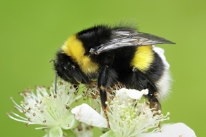 White-tailed-bumblebee-wwwlauriecampbellcom