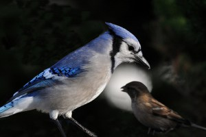 Barking up the Muse Tree | jespah | Janet Gershen-Siegel | The Sparrow and the Blue Jay