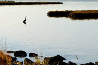 Waiting Heron