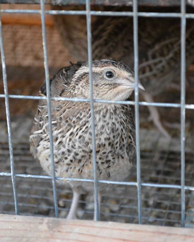 Raising Quail in your Backyard