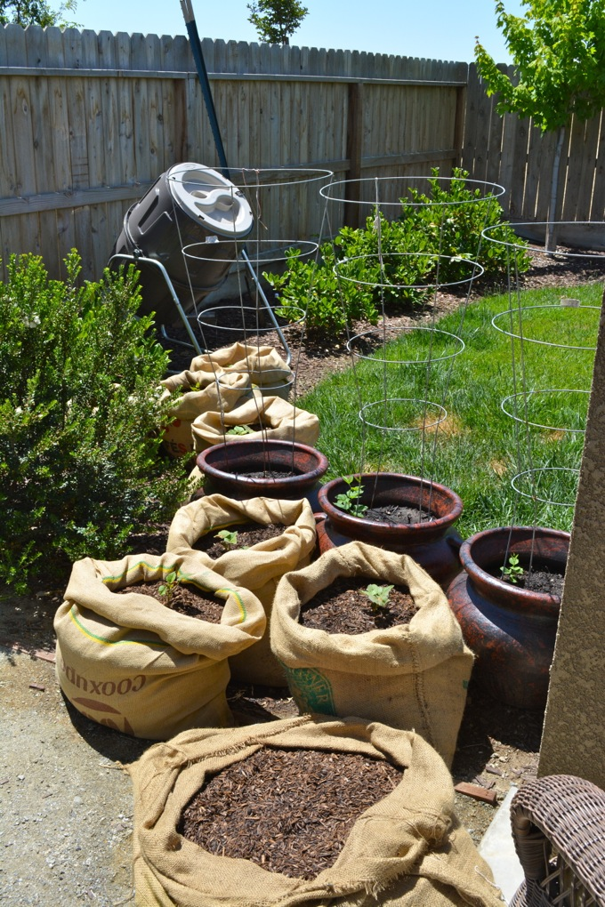 Growing potatoes in burlap sacks