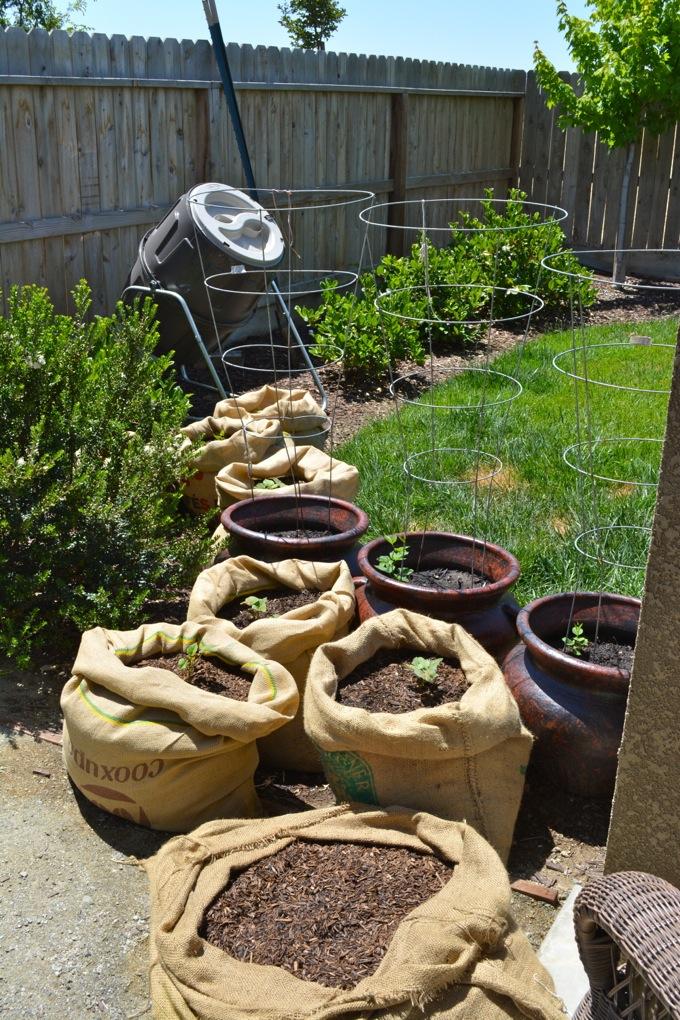 Growing potatoes in burlap sacks