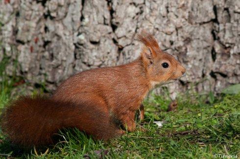 Ecureuil roux 11